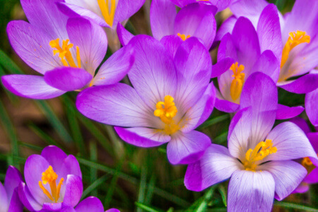 Crocus, plural crocuses or croci is a genus of flowering plants in the iris family. A single crocus, a bunch of crocuses, a meadow, close-up